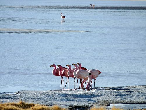Bolivie-Sud_Lipez_flamants