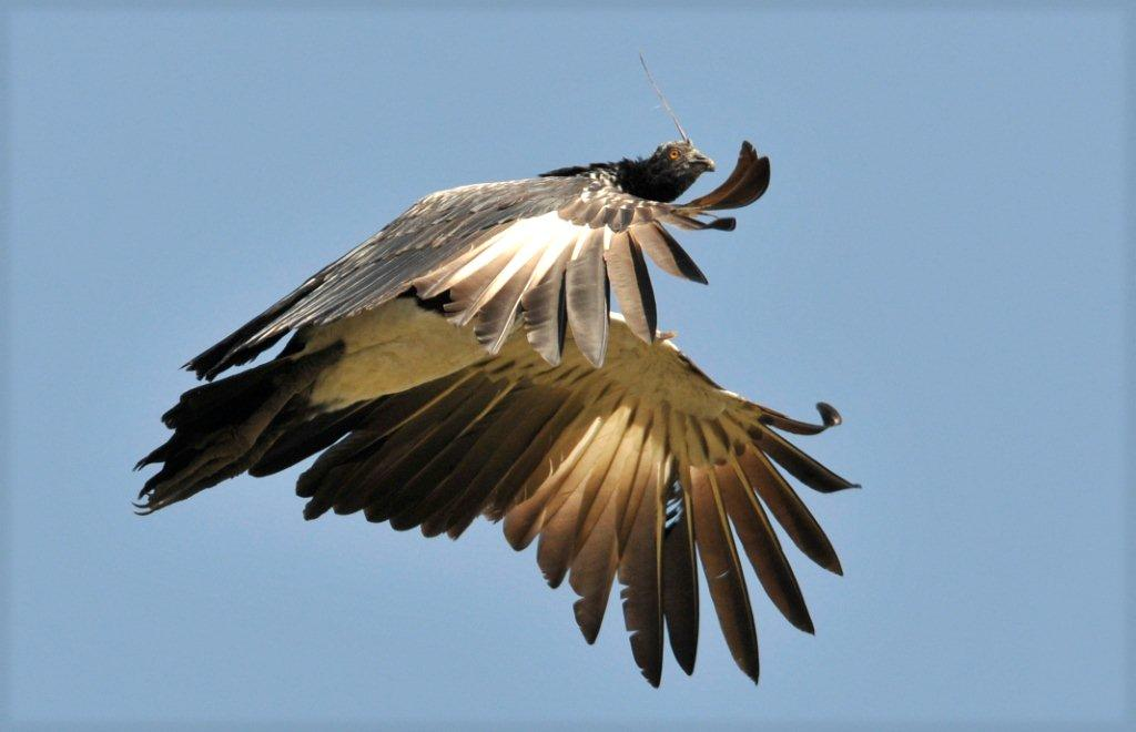 Best Horned Screamer 3