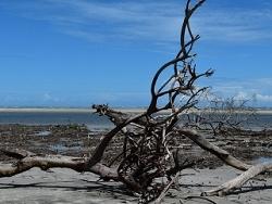 Mangrove asséchée du fait du réchauffement climatique
