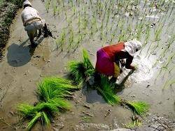 Culture du riz au Népal