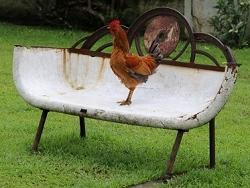Poule ou Coq?
