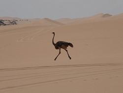 Autruche dans le désert du Namib